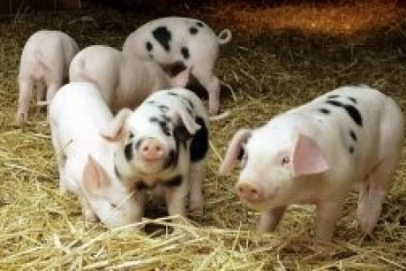 这种疾病在全国15%的养猪场被发现