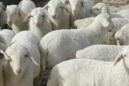 """晋城百万优质肉羊产业化扶贫工程取得丰硕成果:喝滦水养""""富羊"""""""