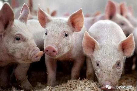 猪突然不吃了。怎么回事?