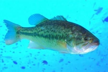 鲈鱼养殖鱼种放养