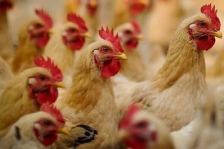 肉鸡冬季饲养管理技术