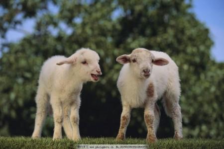 绵羊最佳繁殖季节已经到来