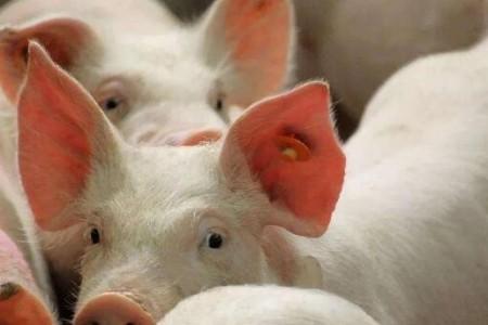 养猪场管理如何实现效益最大化?