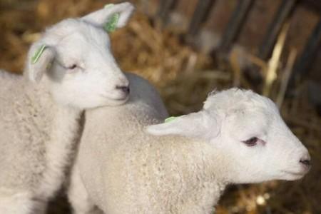 羔羊消化不良的原因及防治方法