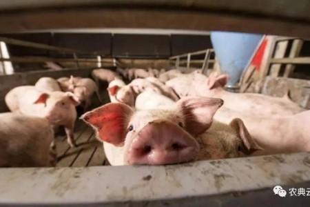 早春养猪要特别注意