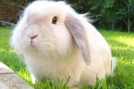 长毛兔怎么收集兔毛?挑头发有什么需要注意的吗?