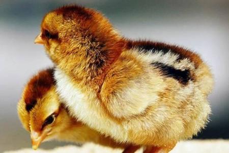 浅谈鸭鹅养殖技术及其管理要点