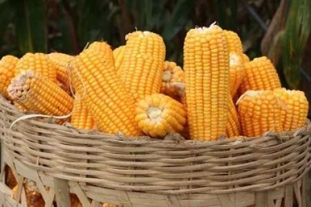 玉米涨100元/吨只是个开始!
