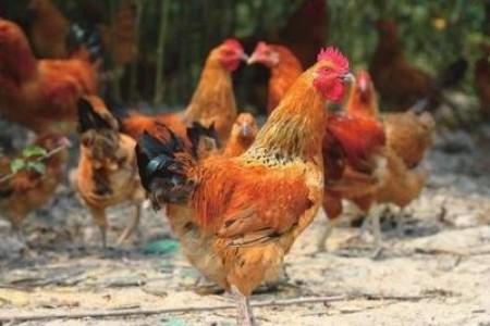 散养土鸡有哪些技术?如何管理散养土鸡?