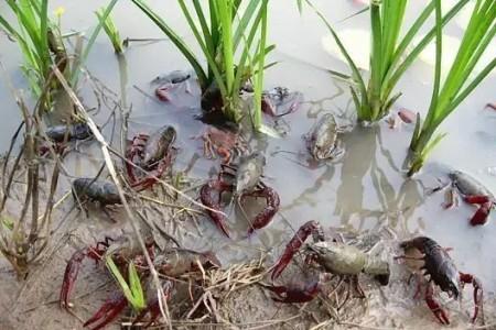 稻田养殖小龙虾的好处及选择稻田养殖小龙虾的方法