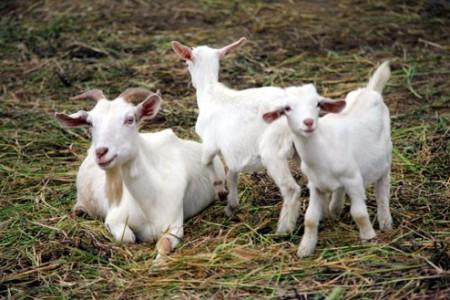 白山羊好养吗?白山羊养殖技术