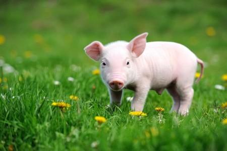 正邦科技:利润爆炸的转折点来了。2021年生猪销售目标不低于2000万头,净利润100亿元