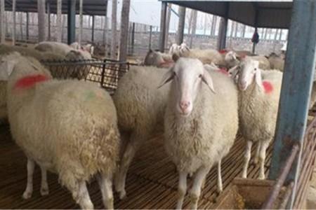肉羊咳嗽的防治