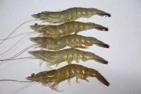 虾控真的能控制虾病吗?