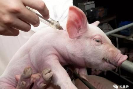 【技术】猪场常用的10种疫苗的使用及注意事项!