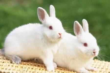 春天要注意养兔
