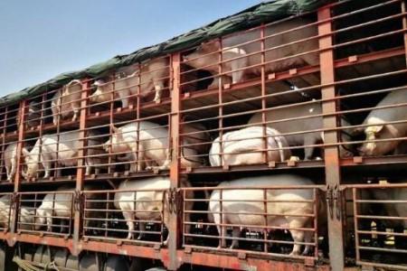 生猪运输也将进入物流时代