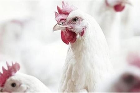 冬天养肉鸡需要注意什么