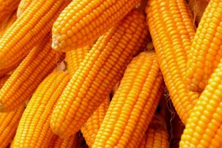 """""""以粮代饲""""试验区全玉米青贮品质全面提高"""