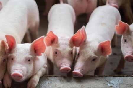 猪肉自给率70%以上!江苏发布推进畜牧业优质发展意见