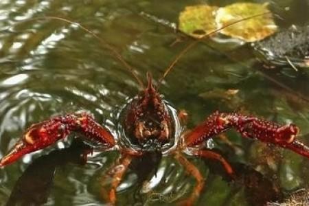 鱼塘小龙虾混养管理技术