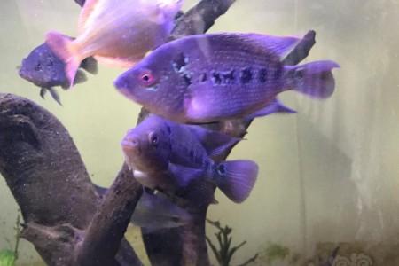 罗汉鱼常见的疾病有哪些?如何防治罗汉鱼的疾病?