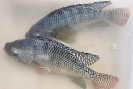 逆势成长!2020年,海南出口罗非鱼14.5万吨,价值22.5亿元