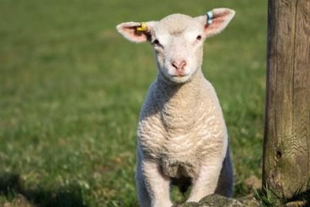 羔羊痉挛的原因是什么?羔羊惊厥的快速治疗!