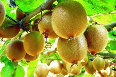 """陕西金秋猕猴桃是农民致富的""""金果"""""""