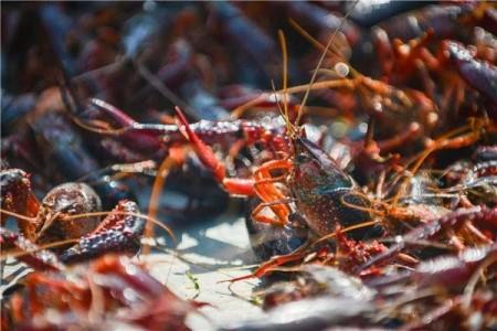 湖北钱江小龙虾带动520亿元产业