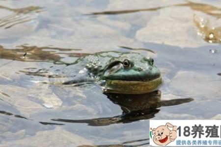 养殖牛蛙能卖多久? _水产养殖(养牛蛙的技巧)