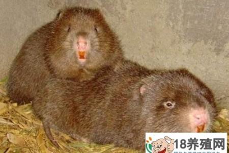 何建忠竹鼠养殖和创业致富,身残志坚,最终获得财富 _动物养殖(养竹鼠的技巧)