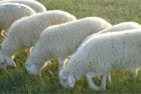 小尾寒羊的选育
