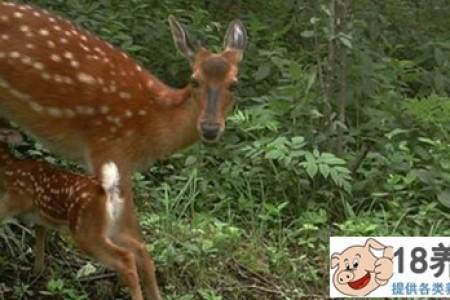 未来10年养鹿前景如何? _动物养殖(养梅花鹿的技巧)