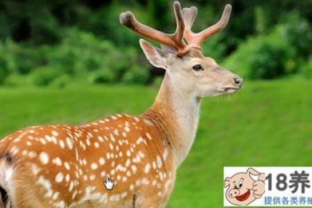 东北能养梅花鹿吗? _动物养殖(养梅花鹿的技巧)