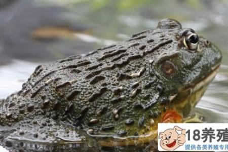 牛蛙是入侵物种吗? _水产养殖(养牛蛙的技巧)