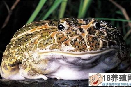 蟾蜍和青蛙的区别 _水产养殖(养蟾蜍的技巧)