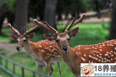 如何找到养鹿的市场? _动物养殖(养梅花鹿的技巧)