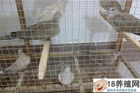 斑鸠是如何人工繁殖的 _禽类养殖(养斑鸠的技巧)