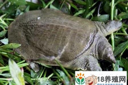 枫泾西农农业生态园海龟养殖基地三年探索与实践经验 _水产养殖(养甲鱼的技巧)