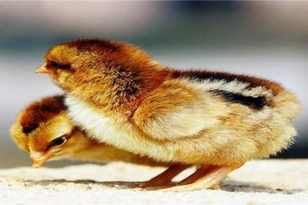 春天孵化的小鸡