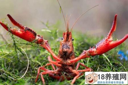 在小龙虾饲料中添加中草药培育生态健康虾 _水产养殖(养河虾的技巧)