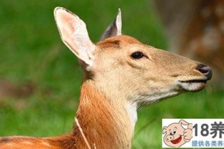 前期养十头鹿应该投资多少? _动物养殖(养梅花鹿的技巧)