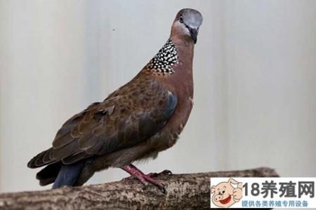 一年能繁殖多少窝斑鸠 _禽类养殖(养斑鸠的技巧)