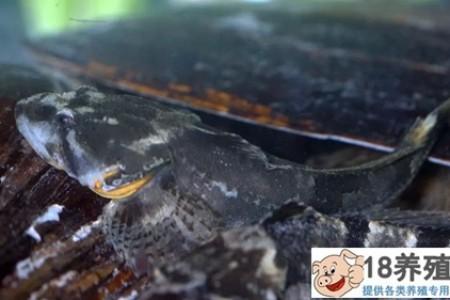 上海黄浦江花鲈和大闸蟹养殖初探 _水产养殖(养河蟹的技巧)
