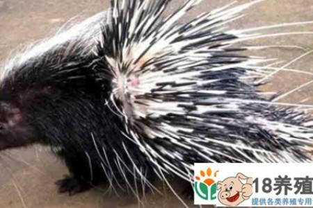 豪猪刺的作用和功效是什么 _动物养殖(养豪猪的技巧)