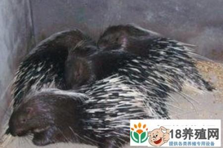 判断豪猪养殖场的质量 _动物养殖(养豪猪的技巧)