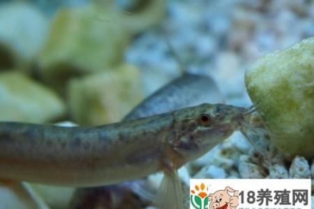 如何在鱼缸里养泥鳅来满足这些要求 _水产养殖(养泥鳅的技巧)