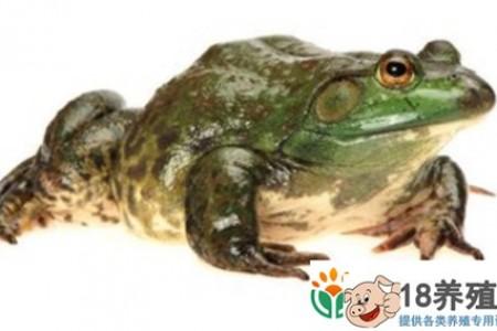 牛蛙养殖的越冬技术有哪些 _水产养殖(养牛蛙的技巧)