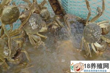 河蟹9月上市前的管理要点 _水产养殖(养河蟹的技巧)